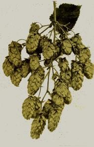 Fuggles hops 1902