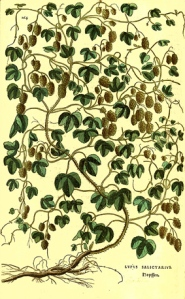 The hop, from Leonhart Fuchs's De historia stirpium commentarii insigne