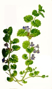 Ground-ivy, otherwise gill or ale-hoof