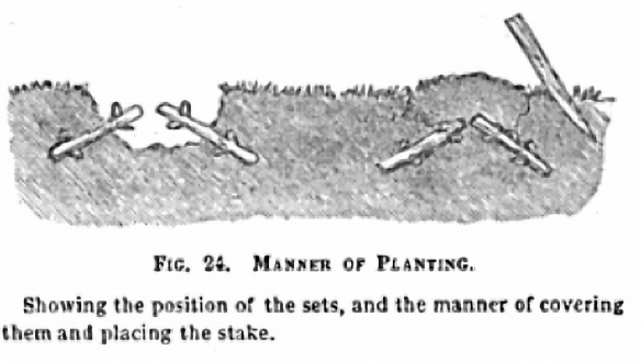 Manner of planting pic