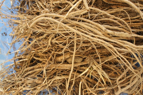 Farnham White Bine rhizomes