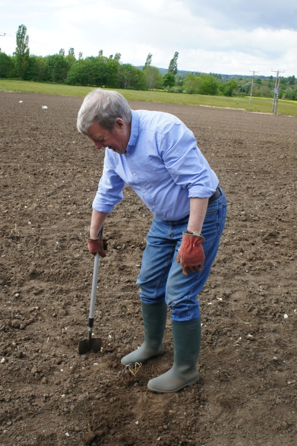 Tamping down the soil around the planted hop – trying not to step on the plant itself