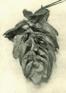 Fuggles hop with the front petals removed to show its structure